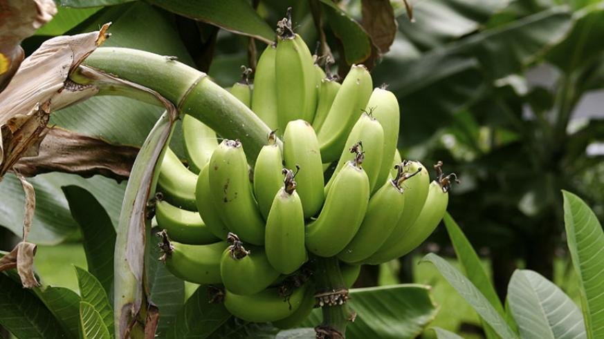 Two-thirds of Matanuska's staff have been laid off as banana production has declined due to the disease. / Net photo