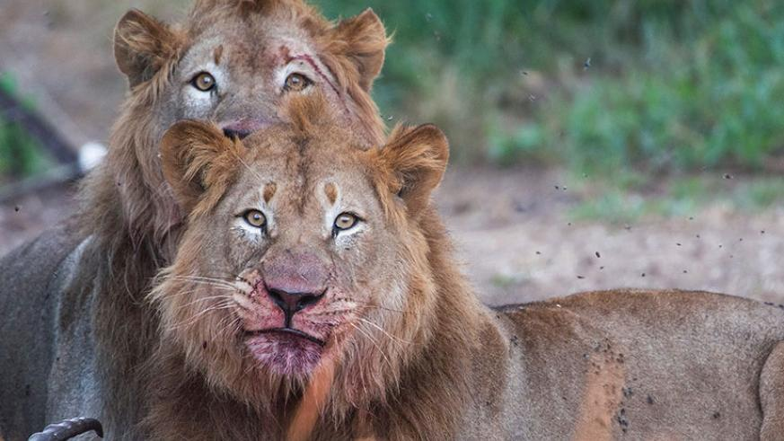 Two more male lions which were relocated to Rwanda mid 2017. / Courtesy