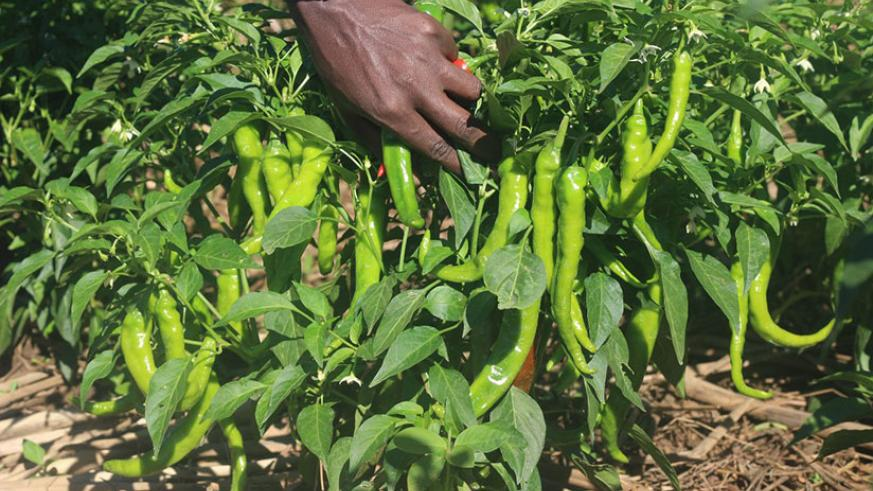 A chili pepper farmer and exporter taking care of his crop in Bugesera District. Chili pepper is one of agricultural commodities that Rwanda exports. / Courtesy