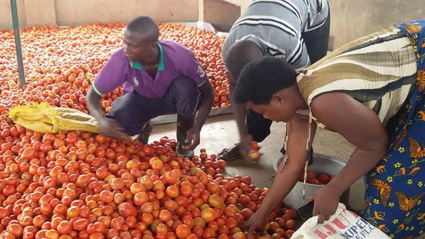 Farmers sort tomatoes. Poor handling practices lead to big losses. / File.