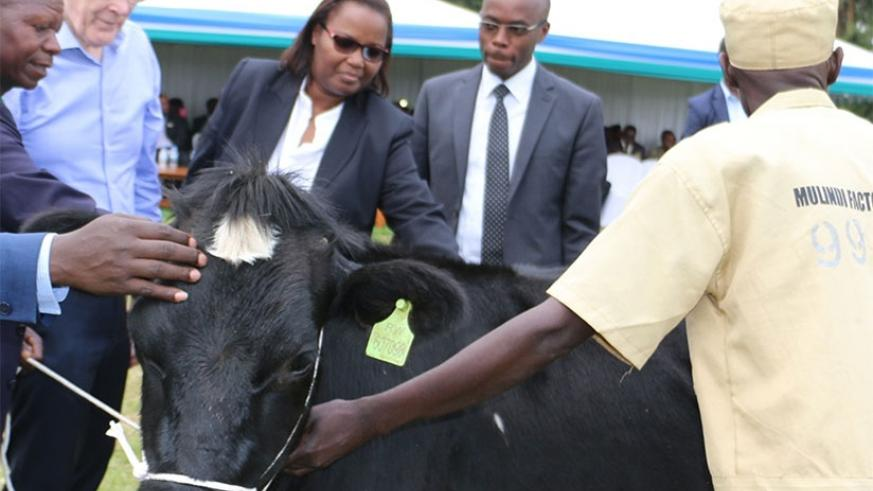Minister Mukeshimana hands over a cow to one of the best tea farmers in Gicumbi District during the event. / Kelly Rwamapera.
