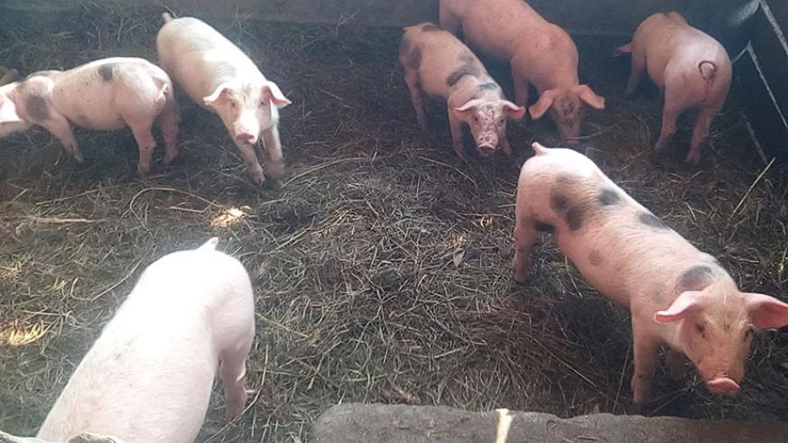 Some of the piglets at Sibomana's farm in Gatsibo. The computer engineering graduate quit a bank job for farming. / Michel Nkurunziza