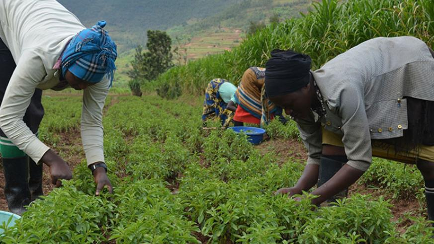 Women harvest stevia at Mulindi marshland in Rulindo District. / File
