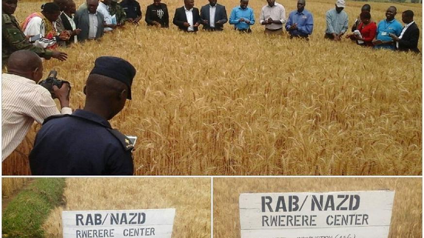 Officials from the Ministry of Agriculture and Animal Resources, Rwanda Agriculture Board, among others, tour farms on which new wheat varieties are grown.  File.