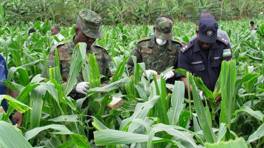 Rwanda Defence Forces and Rwanda National Police joined hands in the fight against fall army worms to protect farmers from losses caused by the pest. / File.