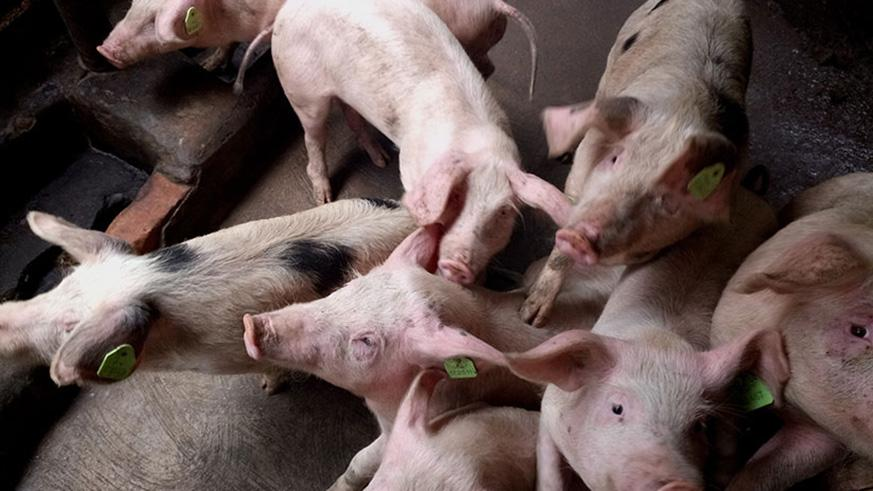High income, appetite for pork, drive up pig industry | The