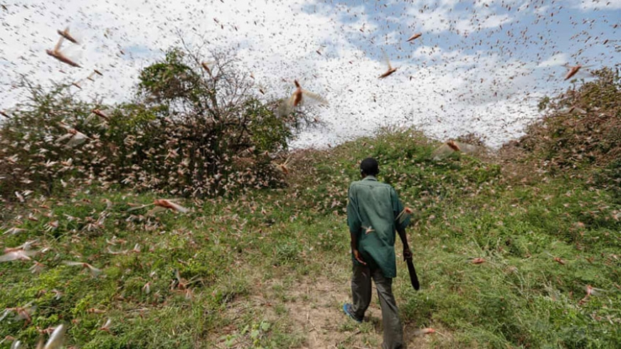 United Nations calls for donations to tackle desert locusts in Africa