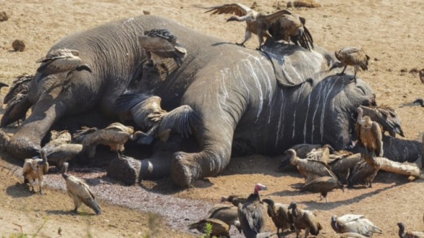 Deaths of more than 300 elephants caused by toxic algae
